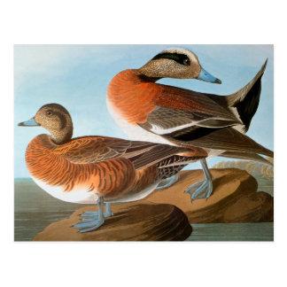 Audubon: Wigeon Postcard