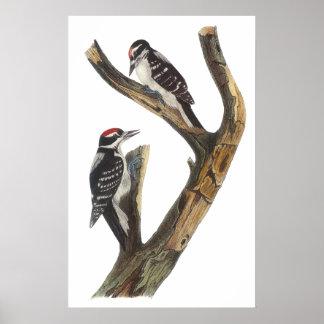 Audubon Woodpecker Poster
