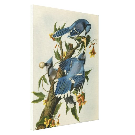 Audubon's Blue Jays Canvas Print