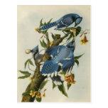 Audubon's Blue Jays Postcard