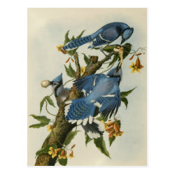 Postcard with Audubon's Blue Jays design