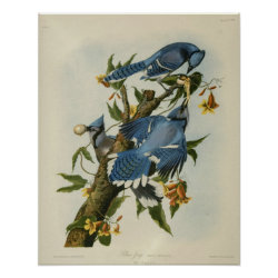Matte Poster with Audubon's Blue Jays design