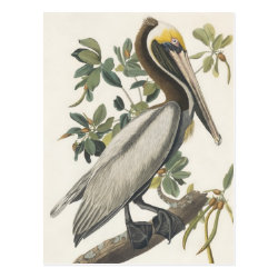 Postcard with Audubon's Brown Pelican design