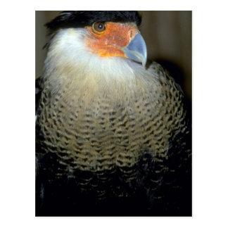 Audubon's Caracara Postcard