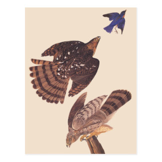 Audubon's Coopers Hawk Bird of Prey Postcard