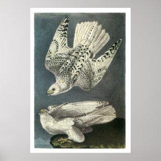 Audubon's Gyrfalcon Poster