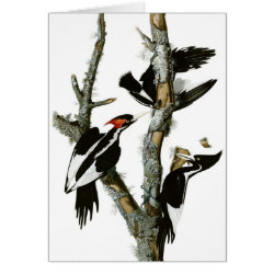 Note Card with Audubon's Ivory-billed Woodpecker design