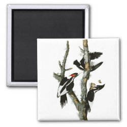 Square Magnet with Audubon's Ivory-billed Woodpecker design