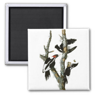 Audubon's Ivory-billed Woodpecker 2 Inch Square Magnet