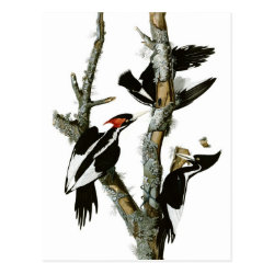 Postcard with Audubon's Ivory-billed Woodpecker design