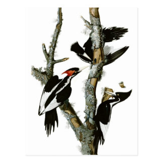 Audubon's Ivory-billed Woodpecker Postcard