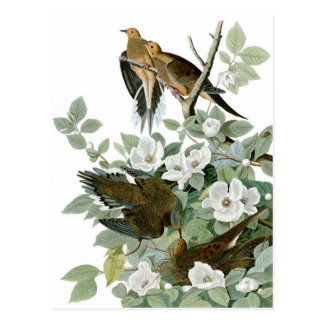 Audubon's Mourning Dove Postcard