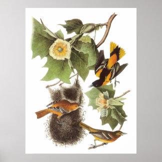 Audubon's Northern Oriole Poster