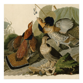 Audubon's Painting of a trio of Ruffed Grouse Photo Print