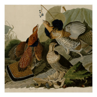 Audubon's Painting of a trio of Ruffed Grouse Poster
