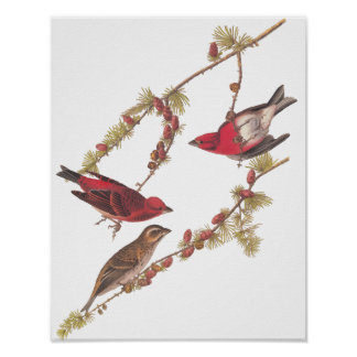 Audubon's Purple Finch Red Birds Vintage Art Poster