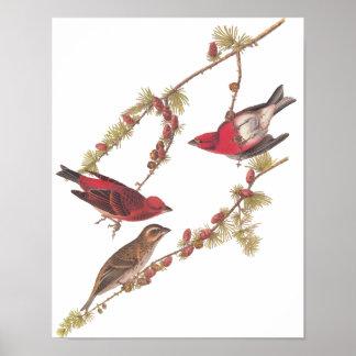 Audubon's Purple Finch Red Birds Vintage Art Poster