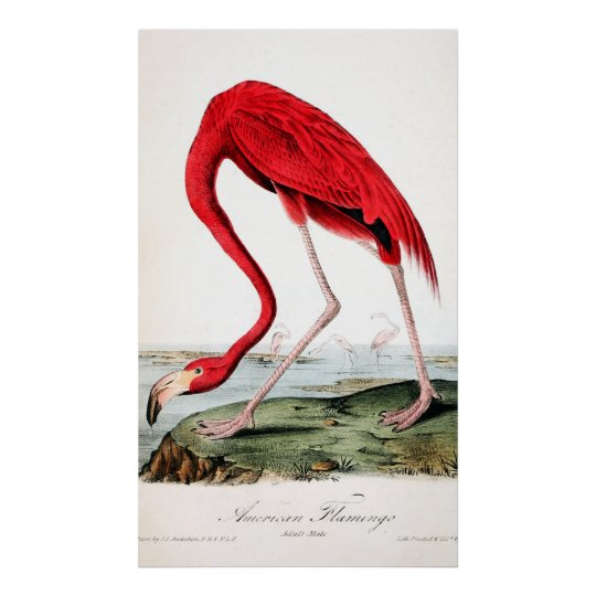 Audubon's Red Flamingo Poster