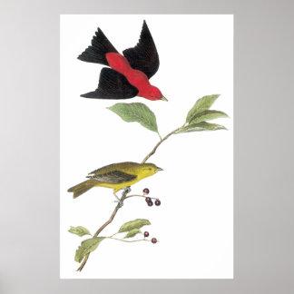 Audubon's Scarlet Tanager Poster