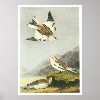 Audubon's Snow Bunting Poster