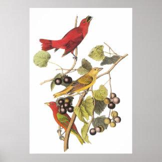 Audubon's Summer Tanager Poster