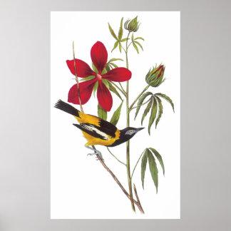 Audubon's Troupial Poster