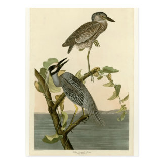 Audubon's Vintage Yellow crowned night heron paint Postcard