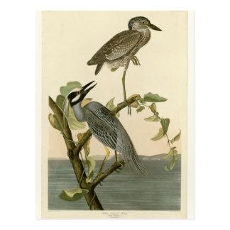 Audubon's Vintage Yellow crowned night heron paint Postcard