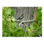 Audubon's Warbler Bird Photography Postcard