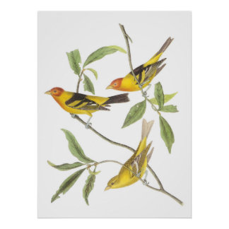 Audubon's Western Tanager Posters