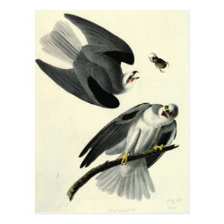Postcard with Audubon's White-tailed Kite design