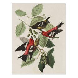 Postcard with Audubon's White-winged Crossbills design