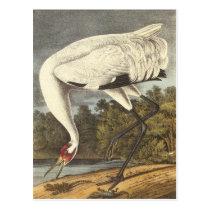 Audubon's Whooping Crane Postcard