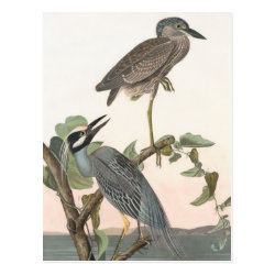 Postcard with Audubon's Yellow-crowned Night-heron design