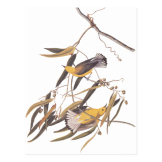 Audubon's Yellow Prothonotary Warbler Bird Pair Postcard