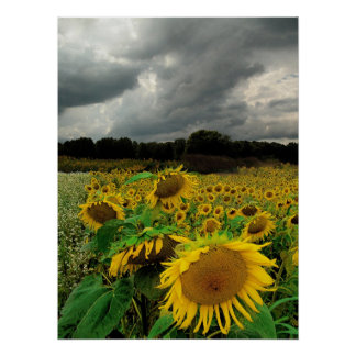 August rain Sunflowers Print