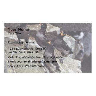 Auklets con cresta en rocas tarjetas de visita