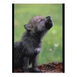 Aullidos del lobo del bebé tarjeta postal