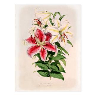 Auratum del Lilium Tarjetas Postales