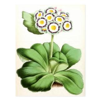 """Auricula John Waterston"" Vintage Flower Post Card"