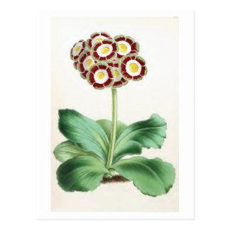 """""""Auricula"""" Vintage Flower Illustration Postcards"""