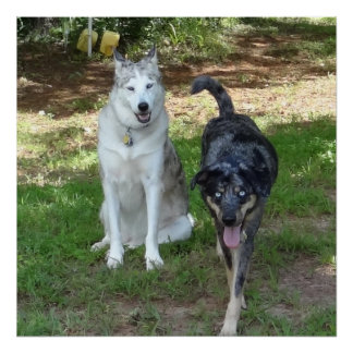 Ausky Dog and Catahoula Leopard Dog Friends Poster