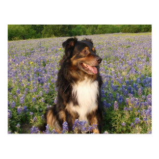 Aussie in the Bluebonnets Postcard
