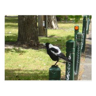 Aussie Magpie Post Card