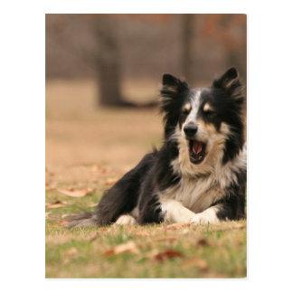 Aussie Shepherd Dog  Postard Post Card