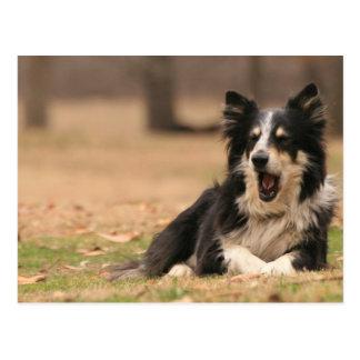Aussie Shepherd Dog  Postcard