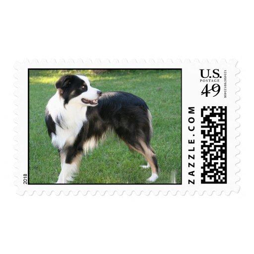 Aussie Shepherd  Postage Stamp
