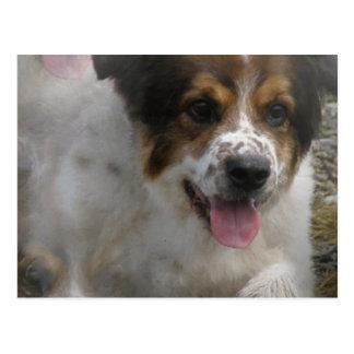 Aussie Shepherd Puppy Postcard