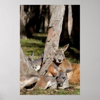 Australia, Adelaide. Cleland Wildlife Park 2 Poster