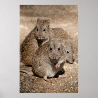 Australia, Adelaide. Cleland Wildlife Park Poster